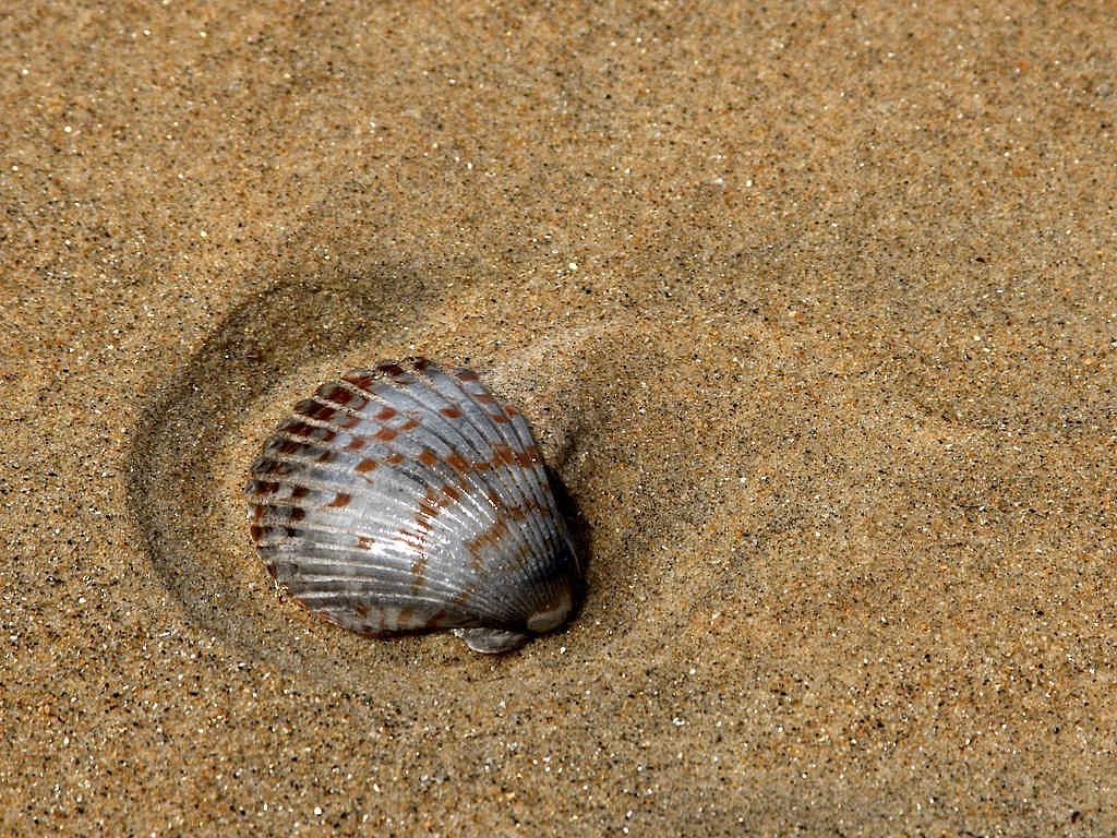 shell seashell beach free photo