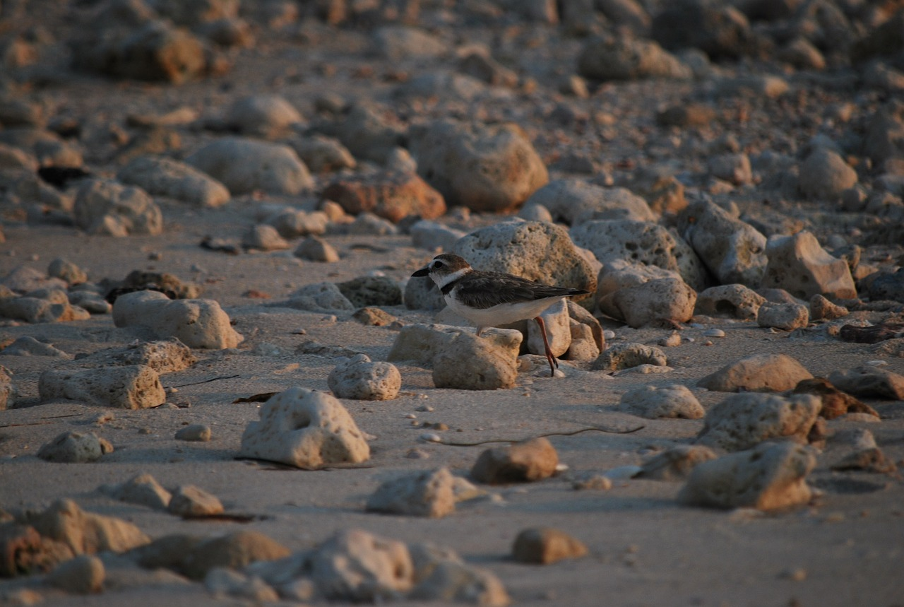 shorebird sandpiper beach free photo