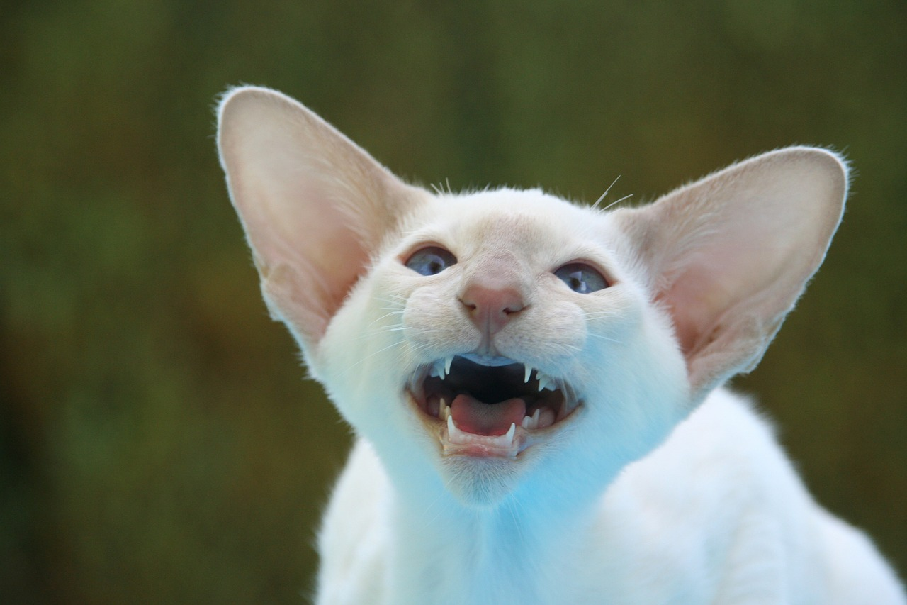 siamese cat hiss ears free picture