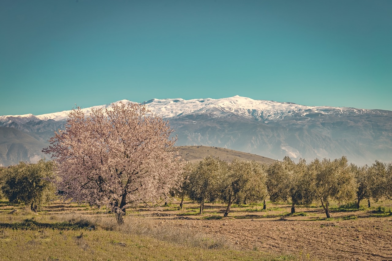 sierra nevada  cherry  blossom free photo