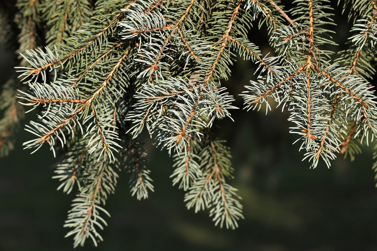 silver fir tree  abies alba  needles free photo