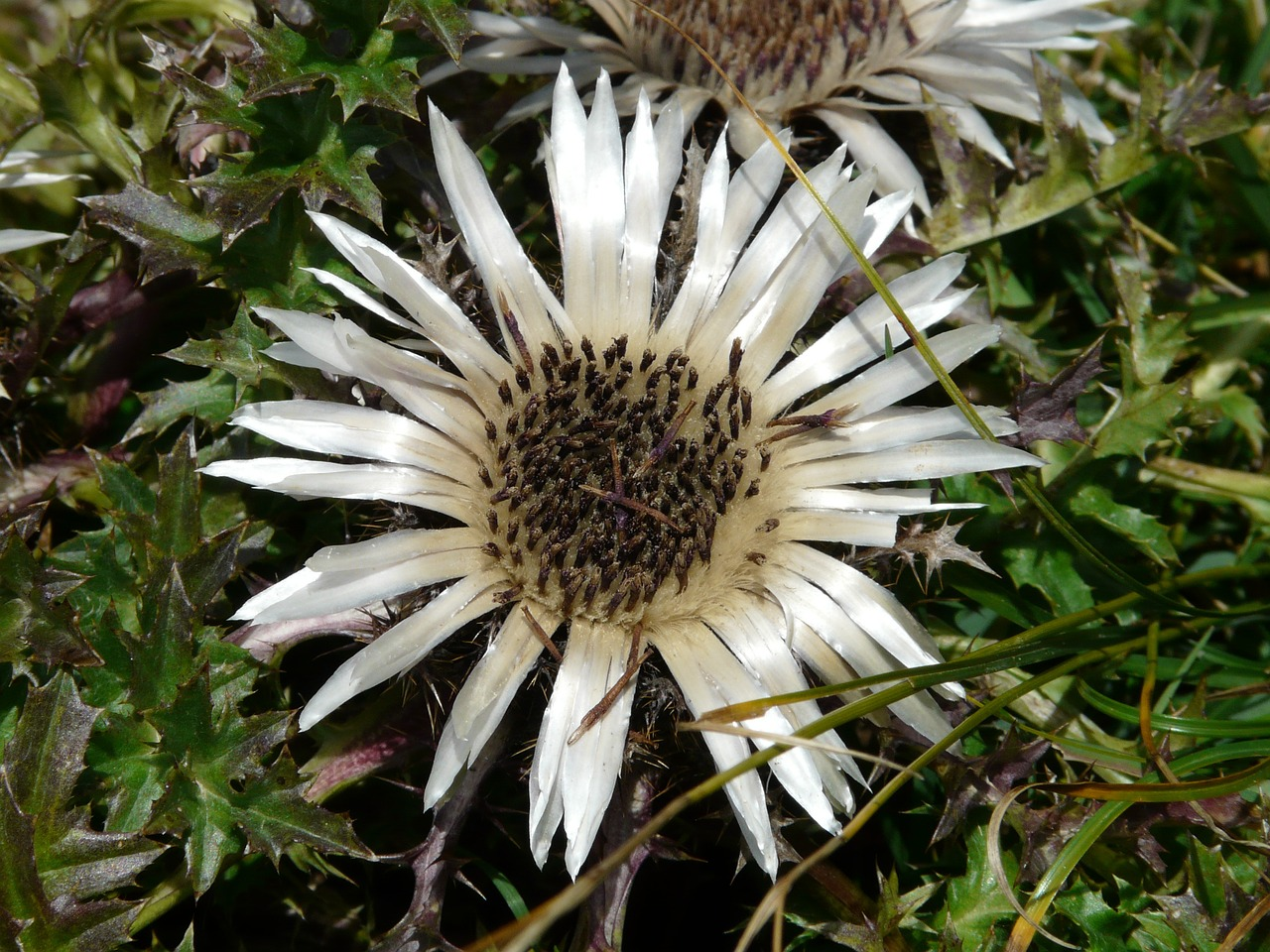 silver thistle thistle blossom free photo
