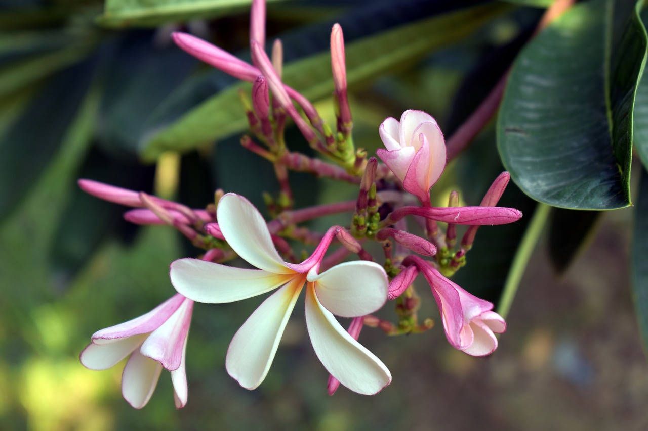 Singapore white flowerwhiteyellow center flowerplumeriafree singapore white flower white yellow center flower mightylinksfo