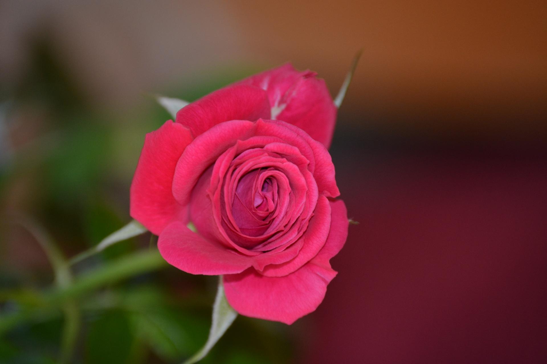 rose,red,pink,single,single rose,flower,flowers,pretty
