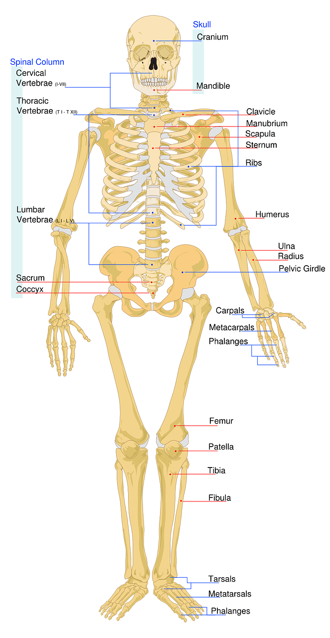 skeletal labeled worksheet free photo