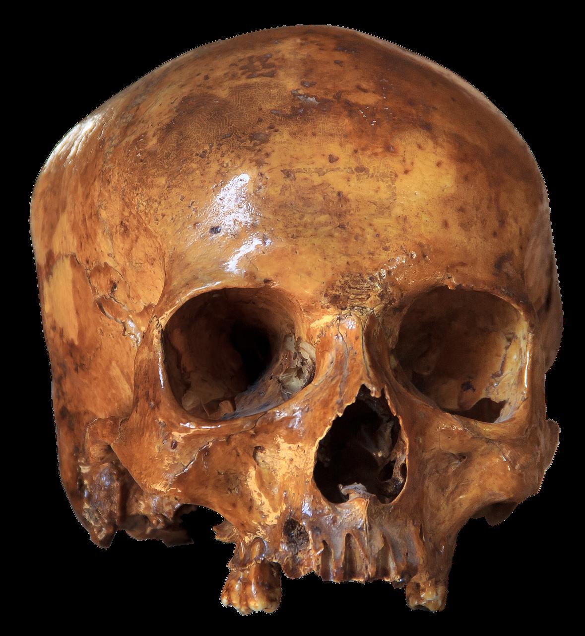 Skull,skeleton,bone,anatomy,brain skull - free photo from needpix.com