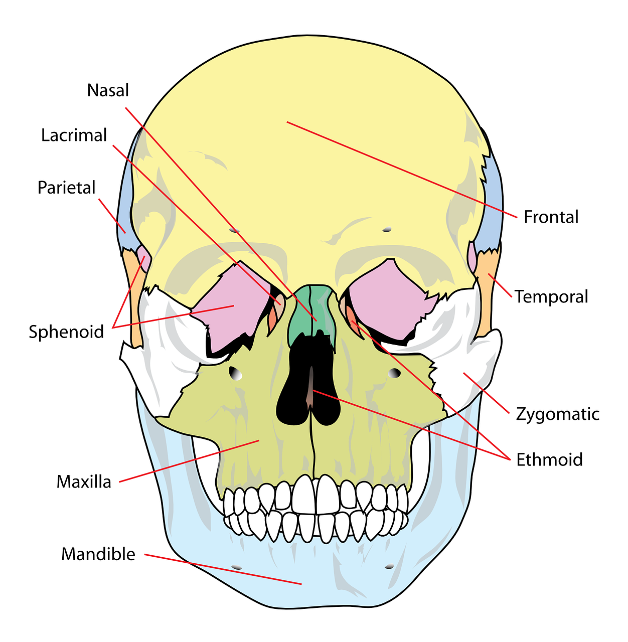 skull diagram labelled free photo