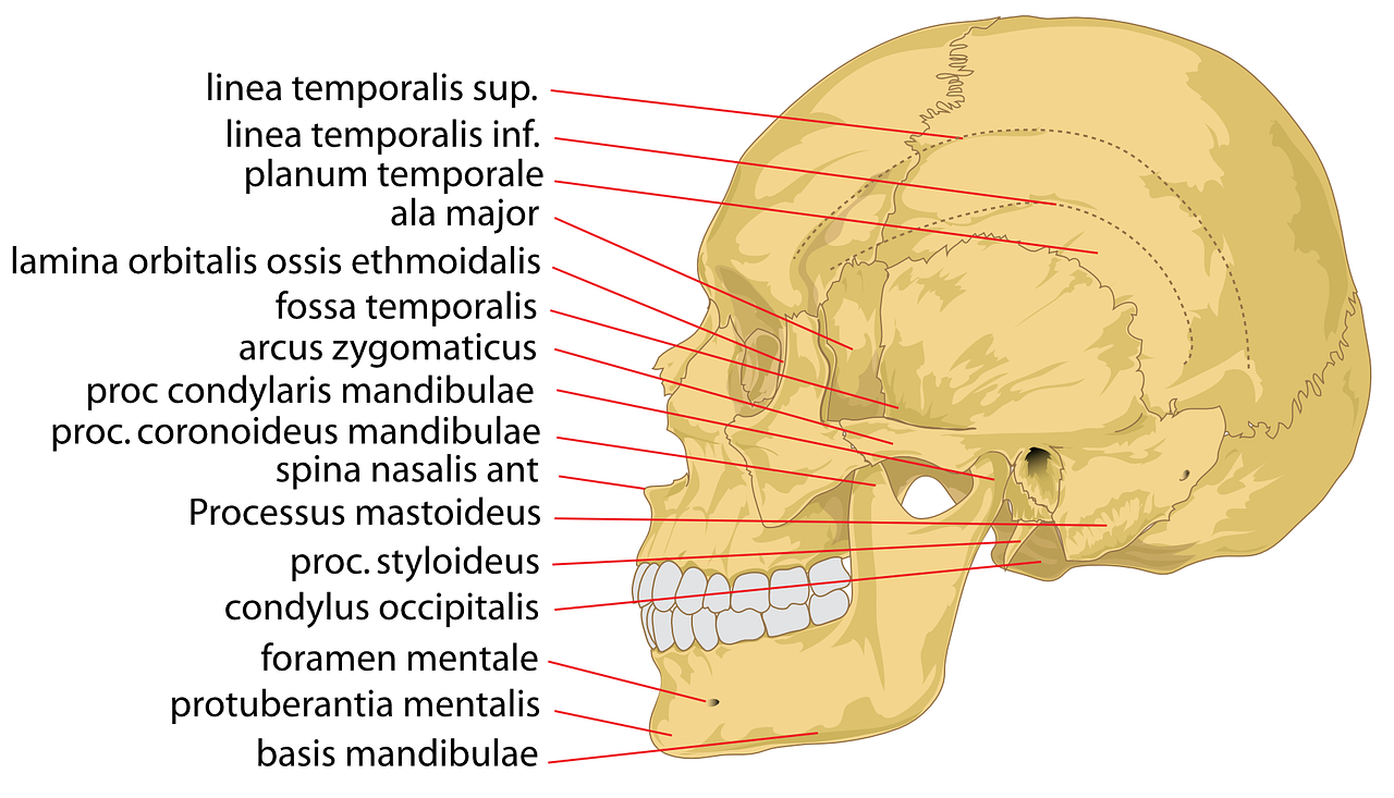 skull,human,head,cranium,diagram,anatomy,skeleton,jaw,labeled,anatomical,free vector graphics,free pictures, free photos, free images, royalty free, free illustrations, public domain