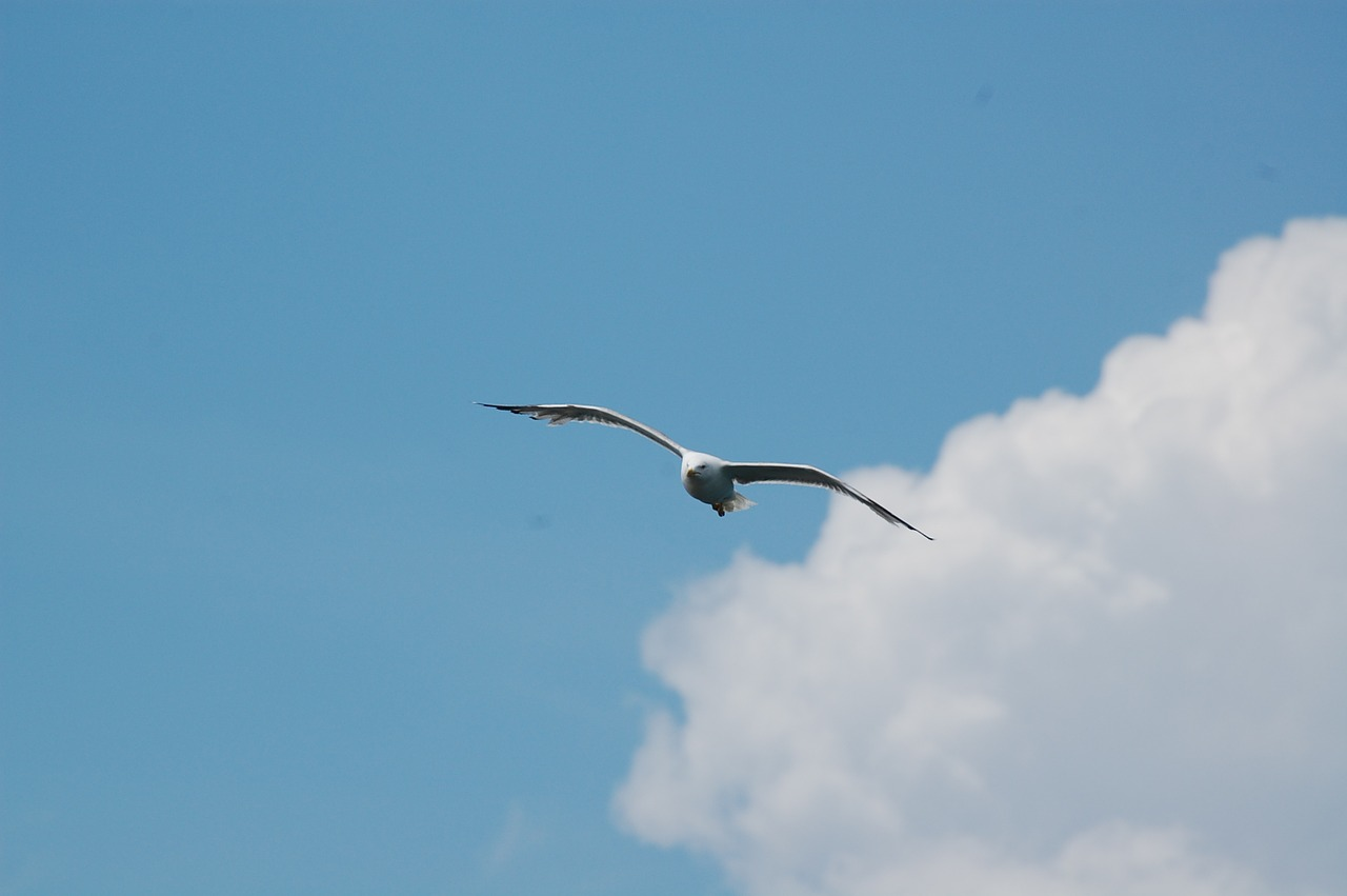 sky,seagull,clouds,fly,bird,ali,flight,free pictures, free photos, free images, royalty free, free illustrations, public domain