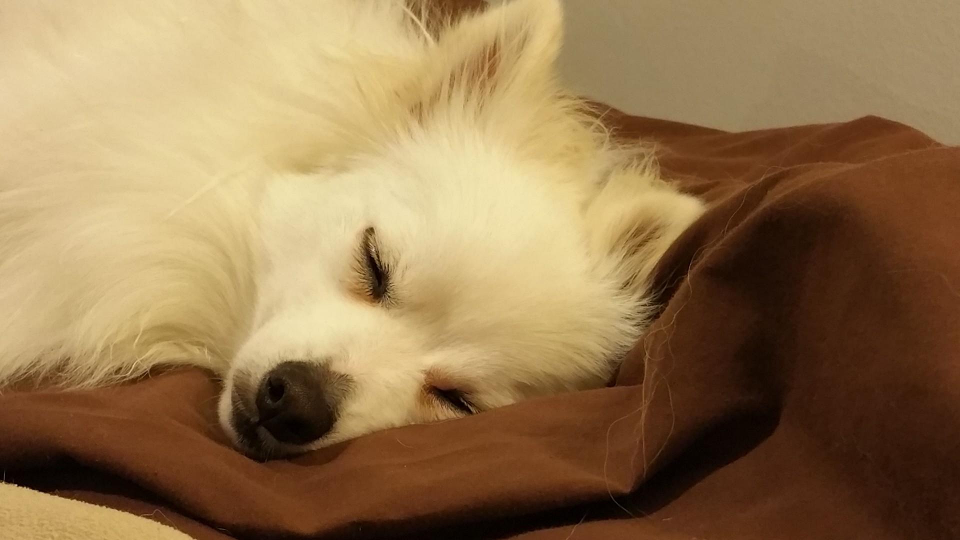 Pomeranian Puppy Dog White Sleeping Free Photo From Needpix Com