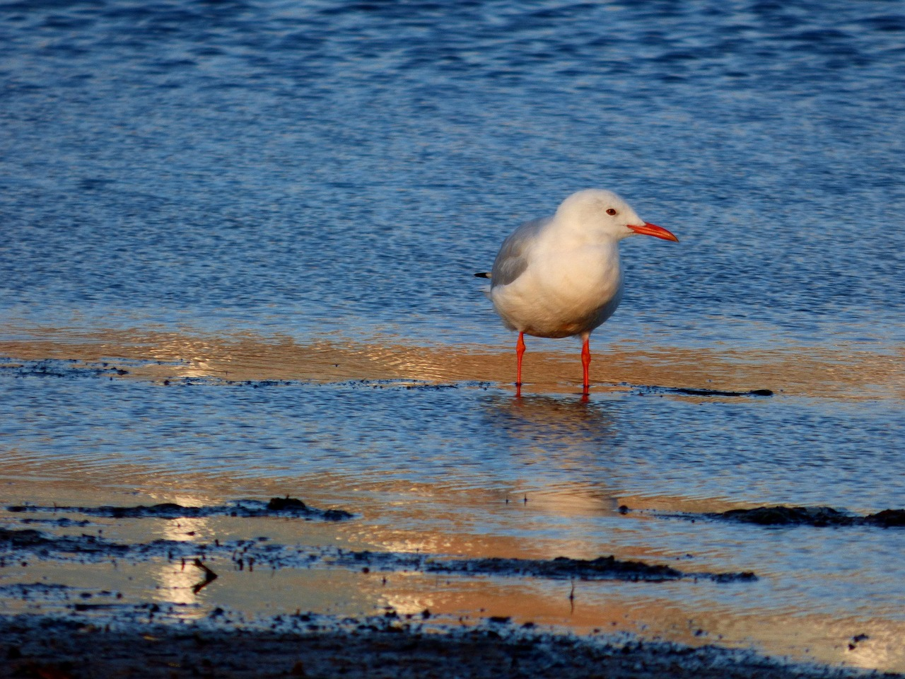 slender-billed gull  bird  birdwatching free photo