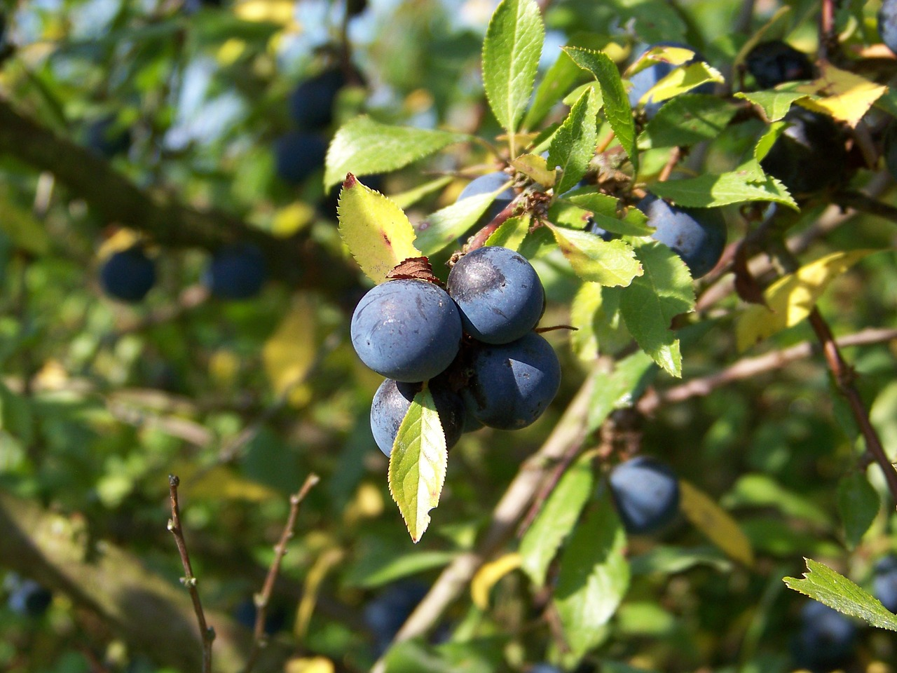 sloes close berries free photo
