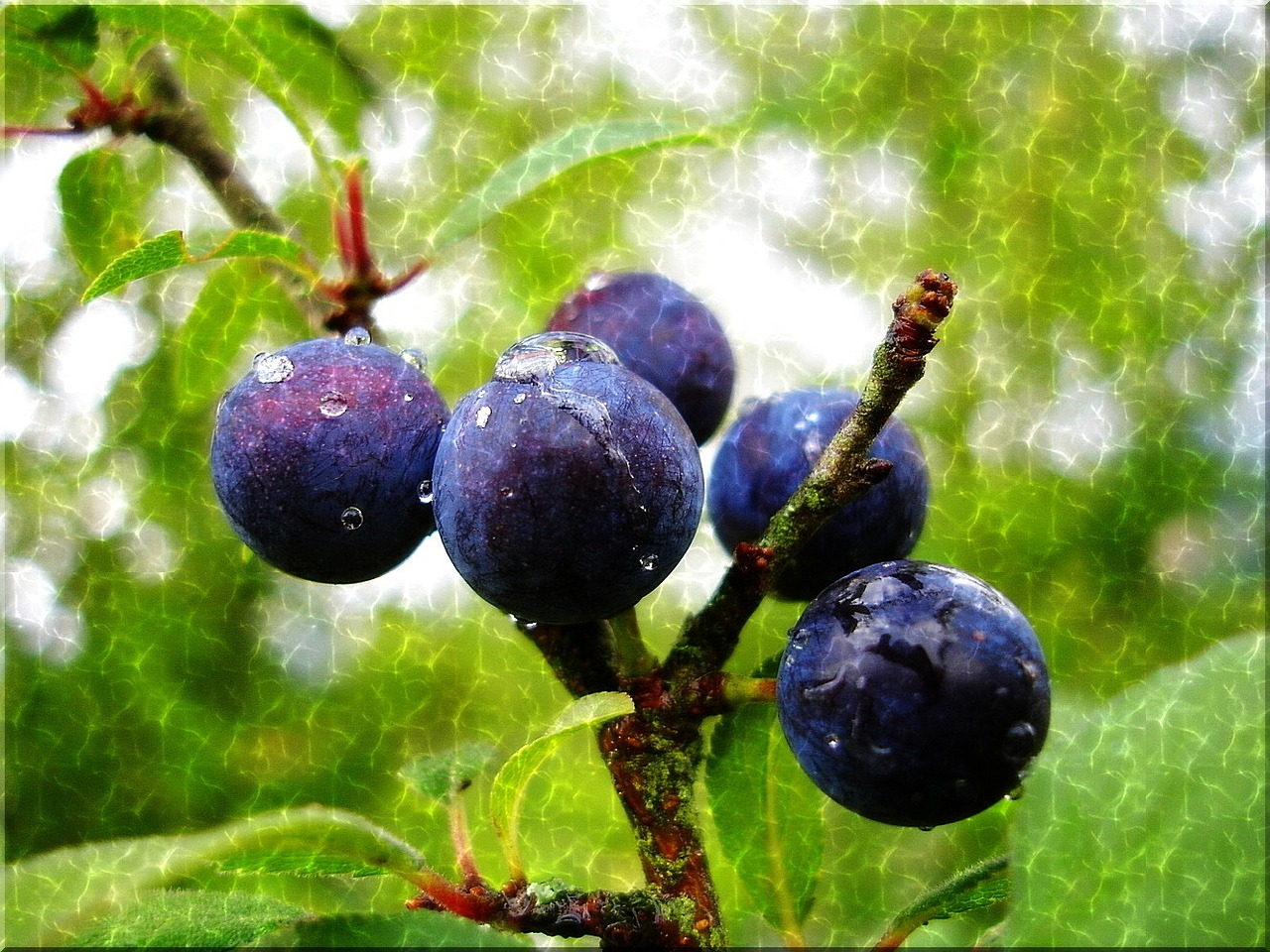 sloes blue raindrop free photo