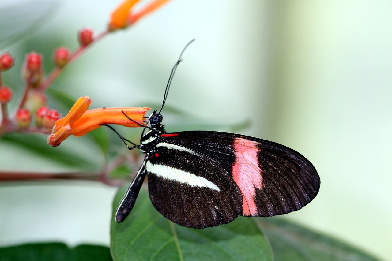 small postbote,butterfly,melpomene,black,red,white,close,nature,heliconius erato,free pictures, free photos, free images, royalty free, free illustrations, public domain