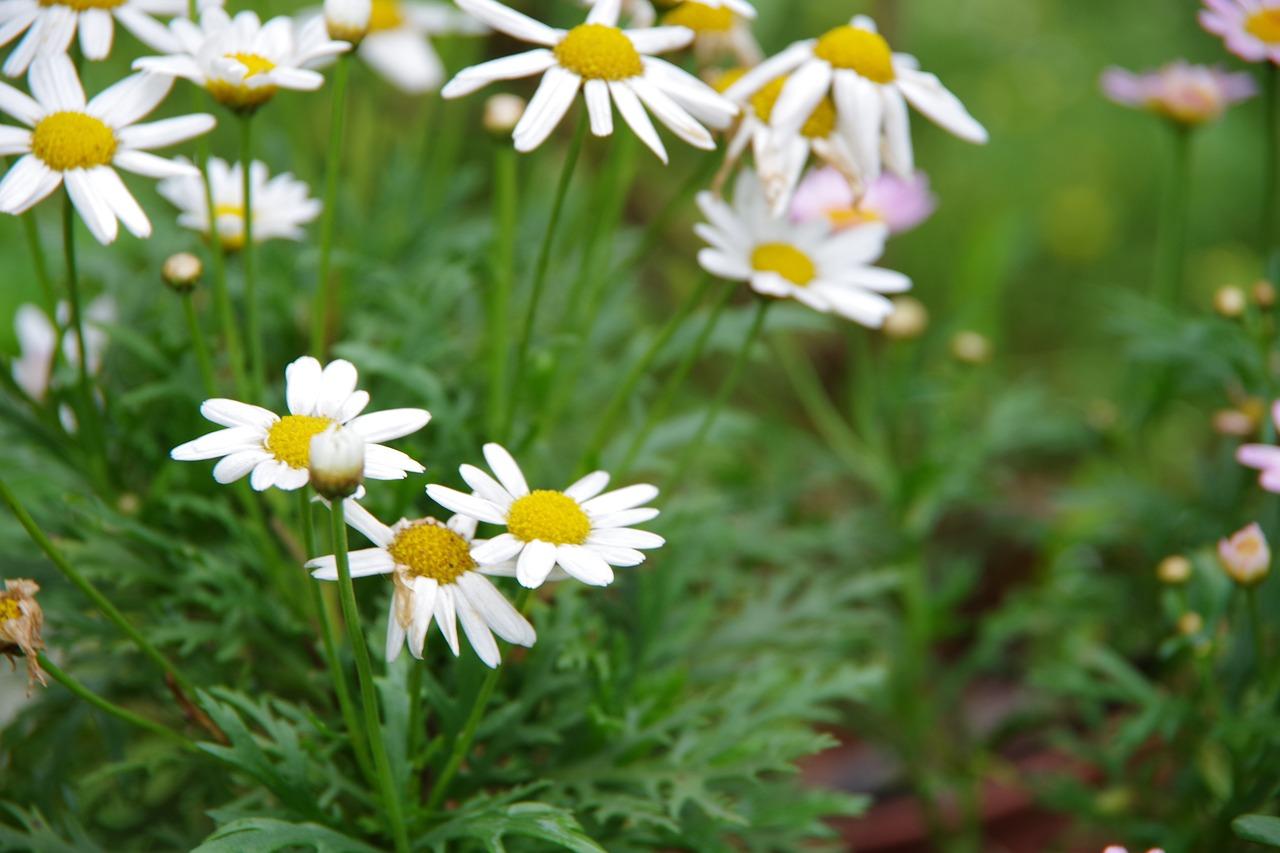 Small white flowersxianfeng grassgarden corner free photo from small white flowers xianfeng grass garden corner mightylinksfo