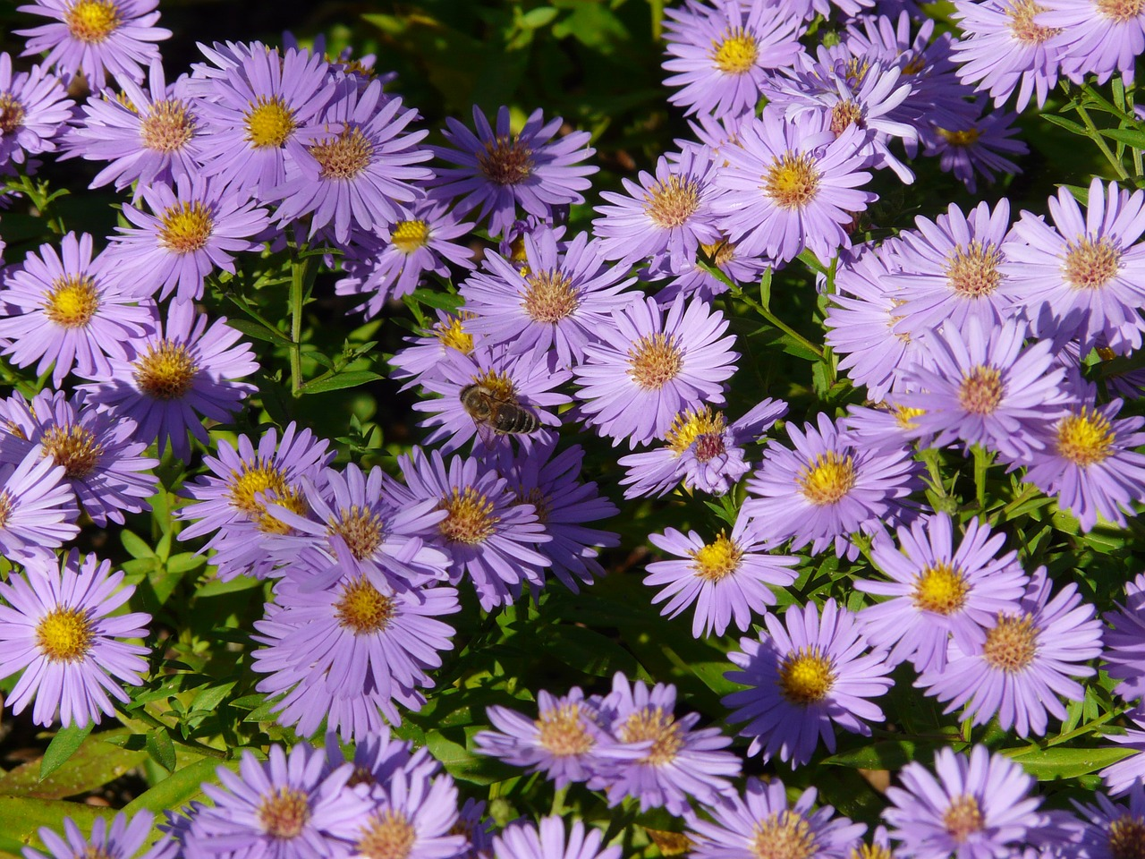smooth leaf aster,aster,herbstaster,flower,bloom,flowers,ornamental plant,purple,violet,flora,colorful,color,bee,free pictures, free photos, free images, royalty free, free illustrations, public domain
