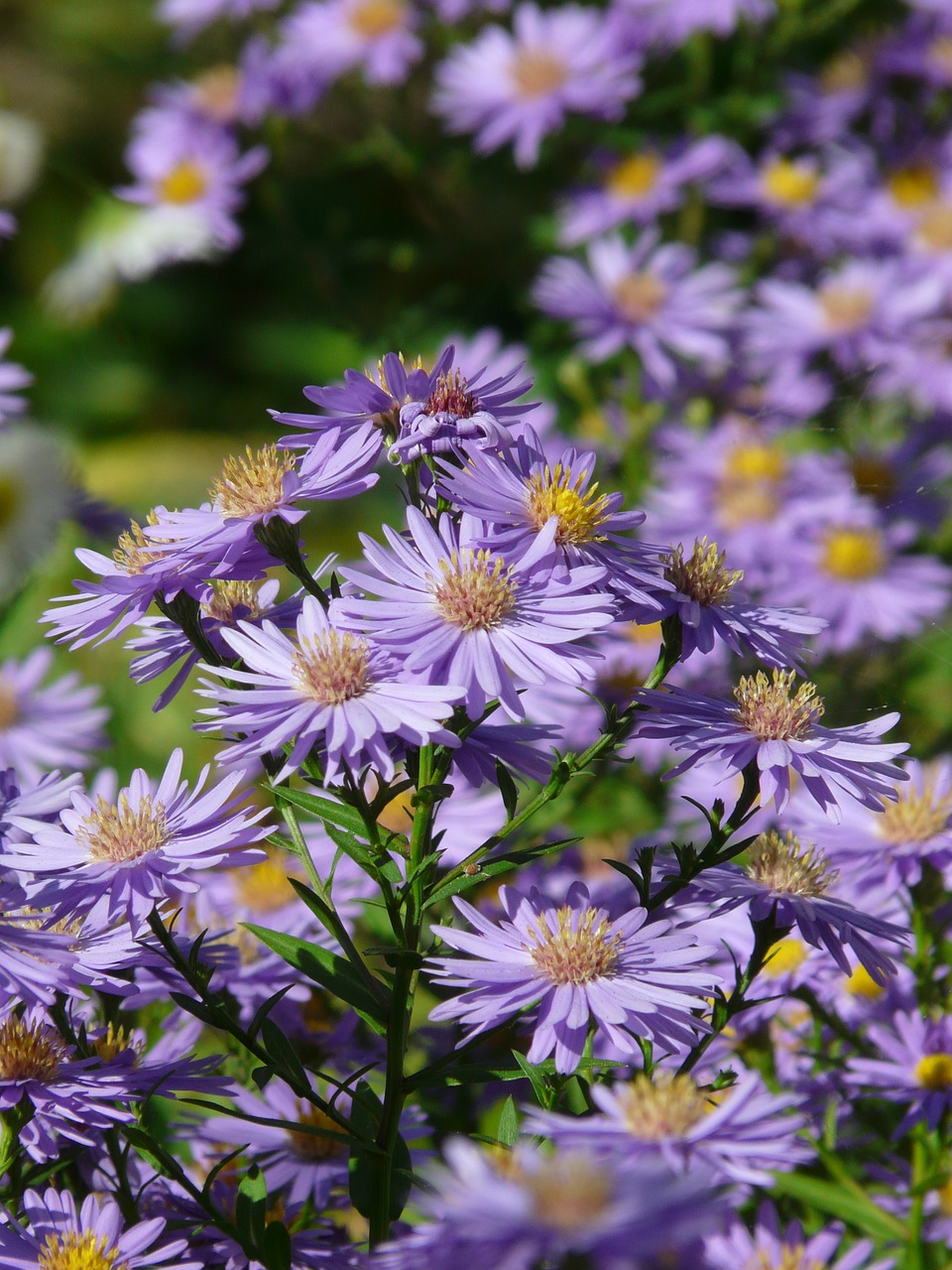 smooth leaf aster aster herbstaster free photo
