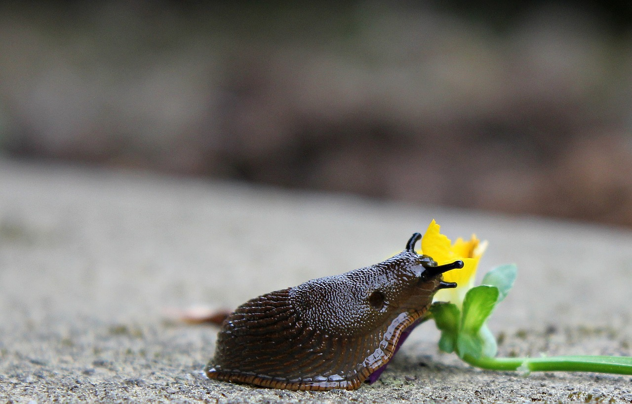 snail slug mollusk free photo