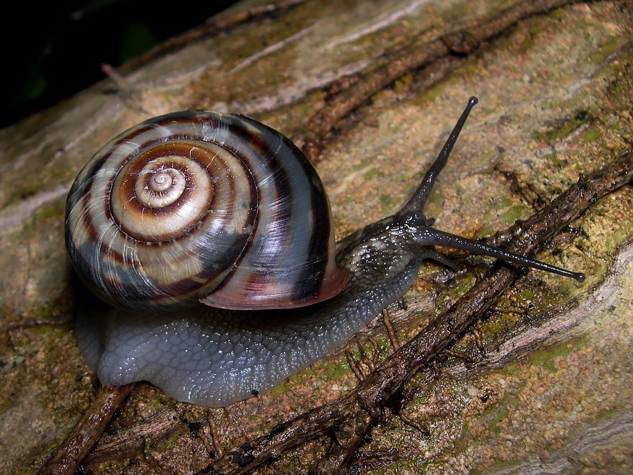 snail land snail euhadra peliomphala free photo