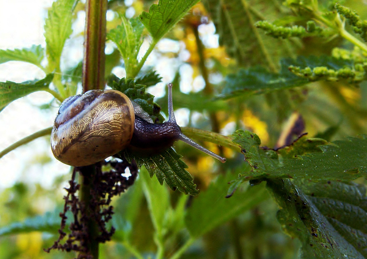 snail conch nettle free photo