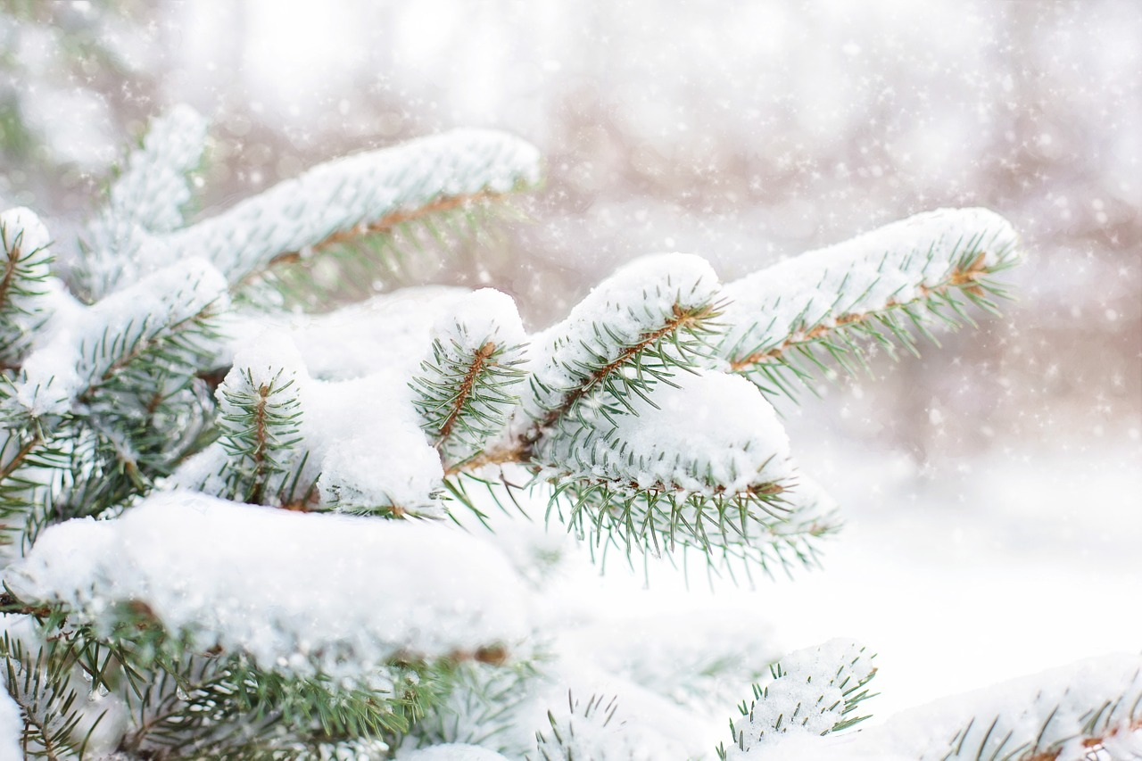 snow in pine tree pine branch winter free photo