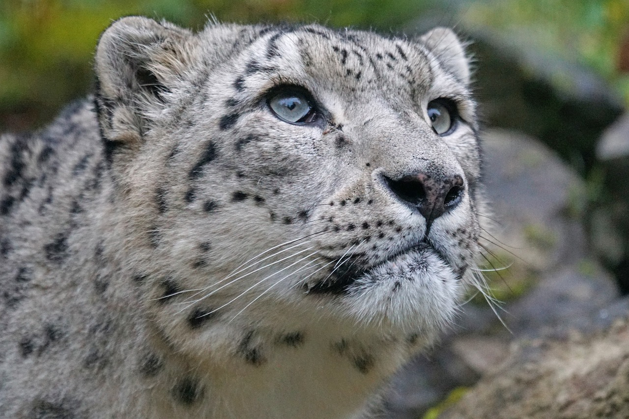 snow leopard irbis predator free photo