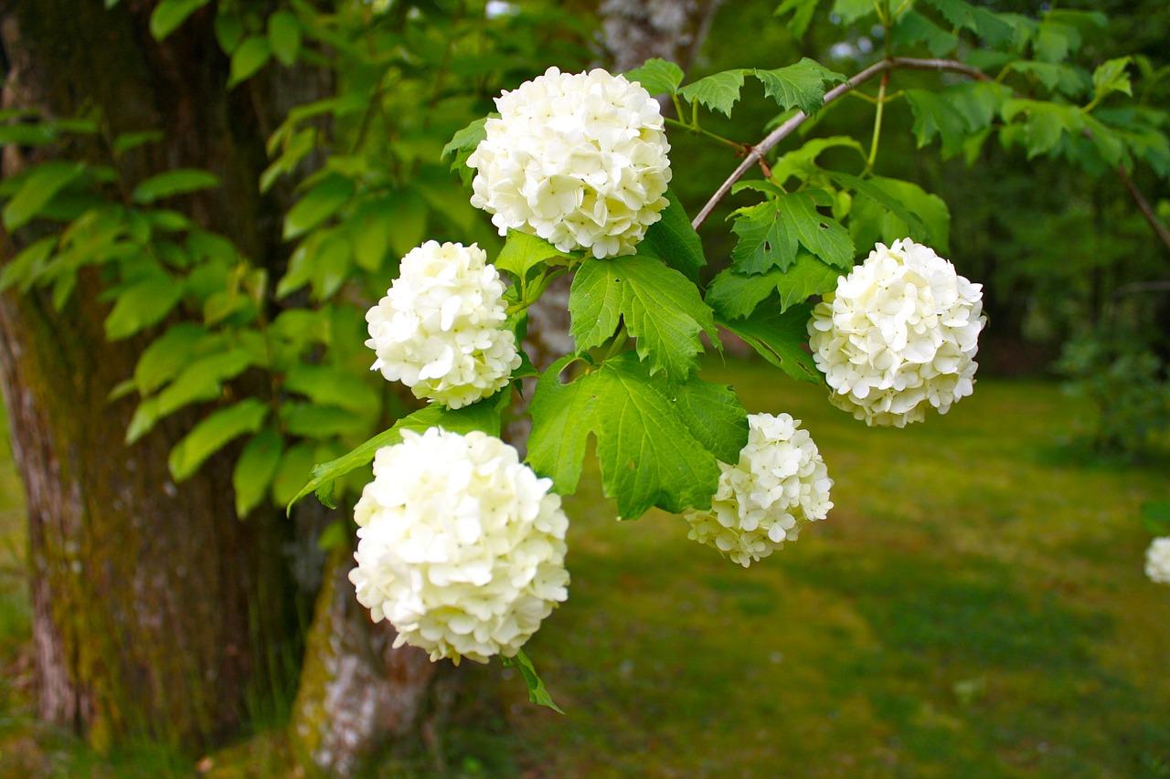 Snowball Treeplantshrubflowersornamental Shrubs Free Photo