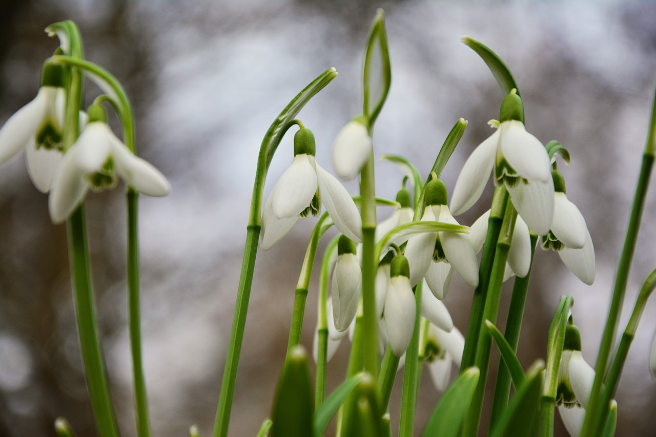 snowdrop spring flowers signs of spring free photo