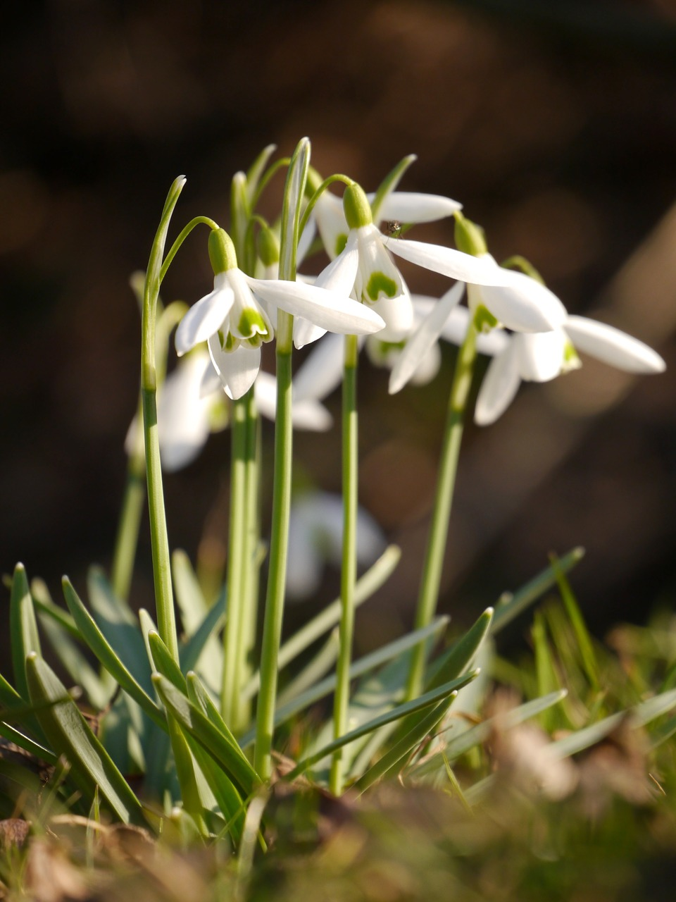 snowdrop flower spring free photo