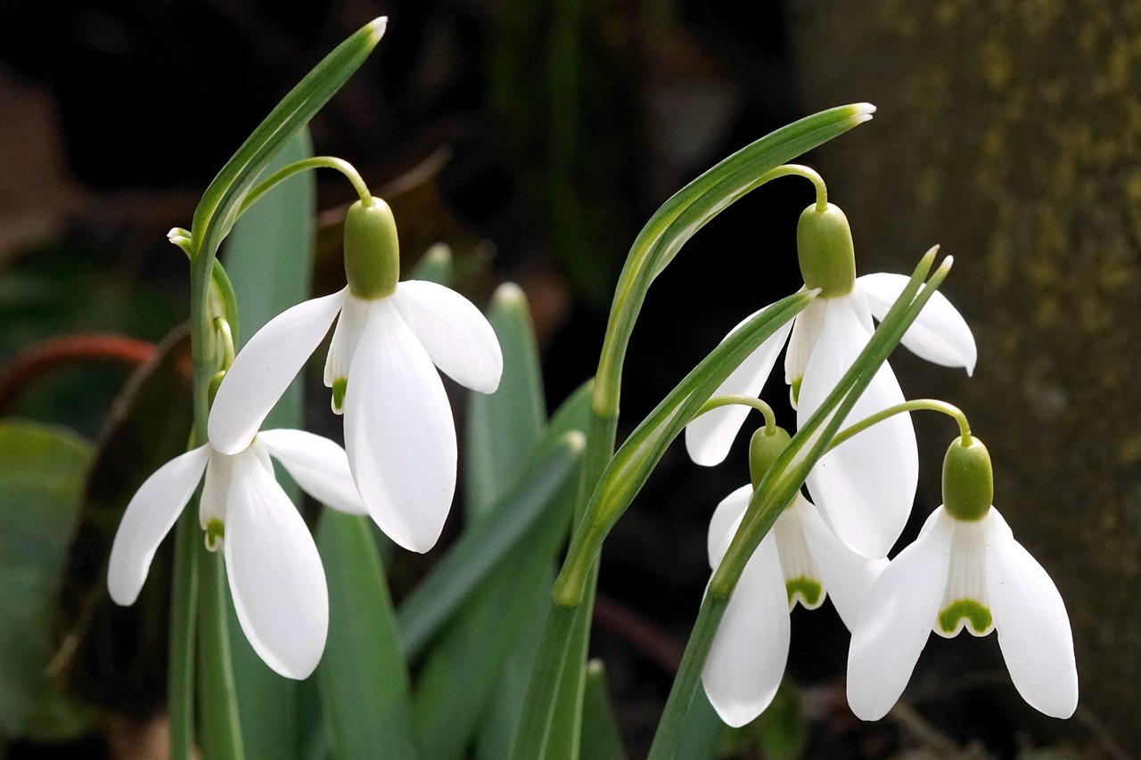snowdrop white spring free photo