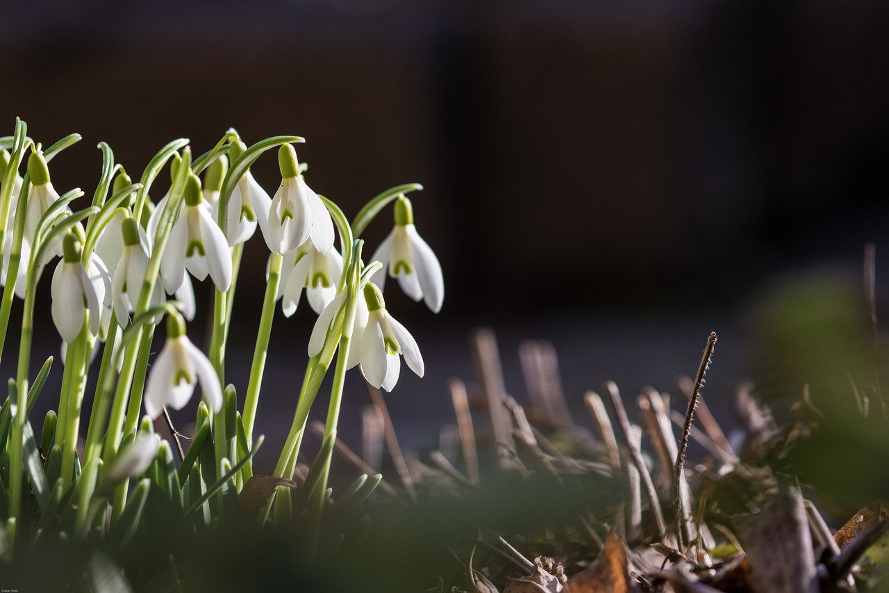 Snowdropspringflowerssigns Of Springwhite Free Photo From