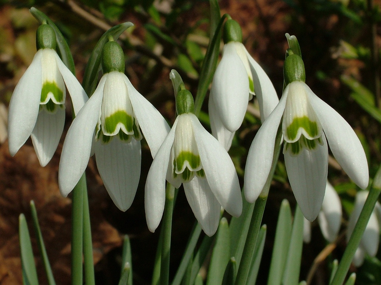 snowdrop spring signs of spring free photo