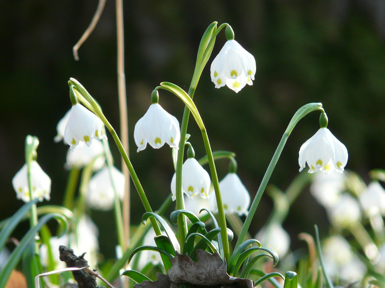 snowflake,spring,spring flower,blossom,bloom,flower,white,forest,forest flower,fruehlingsknotenblume,bloom,spring knotenblume,maerzgloeckchen,beautiful,idyllic,great snowdrops,leucojum vernum,amaryllidaceae,leucojum,free pictures, free photos, free images, royalty free, free illustrations, public domain