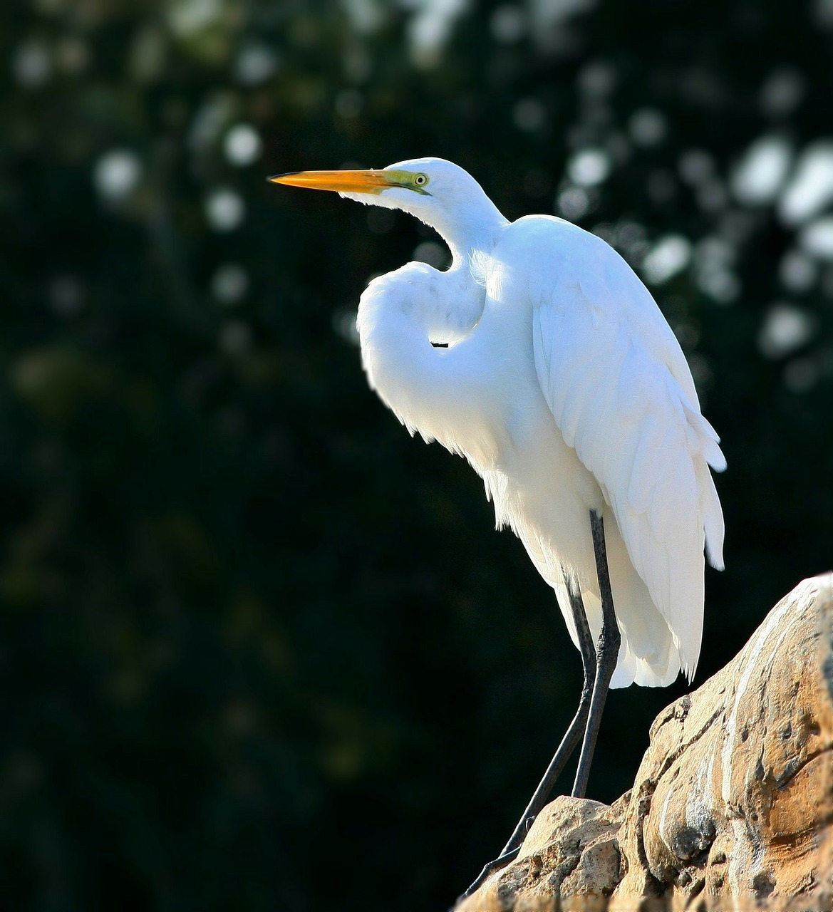snowy egret egret perched free photo