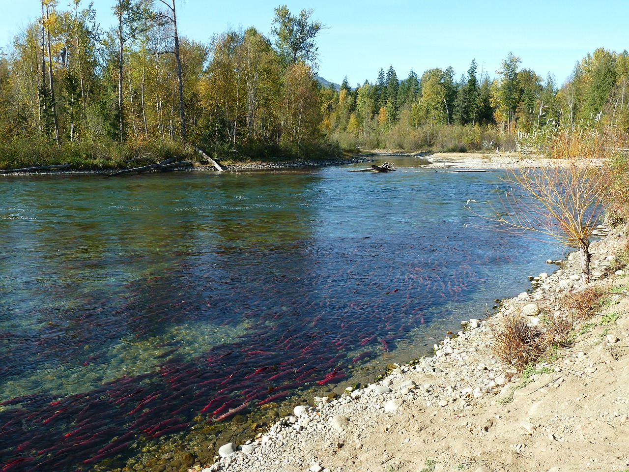 sockeye salmon run free photo