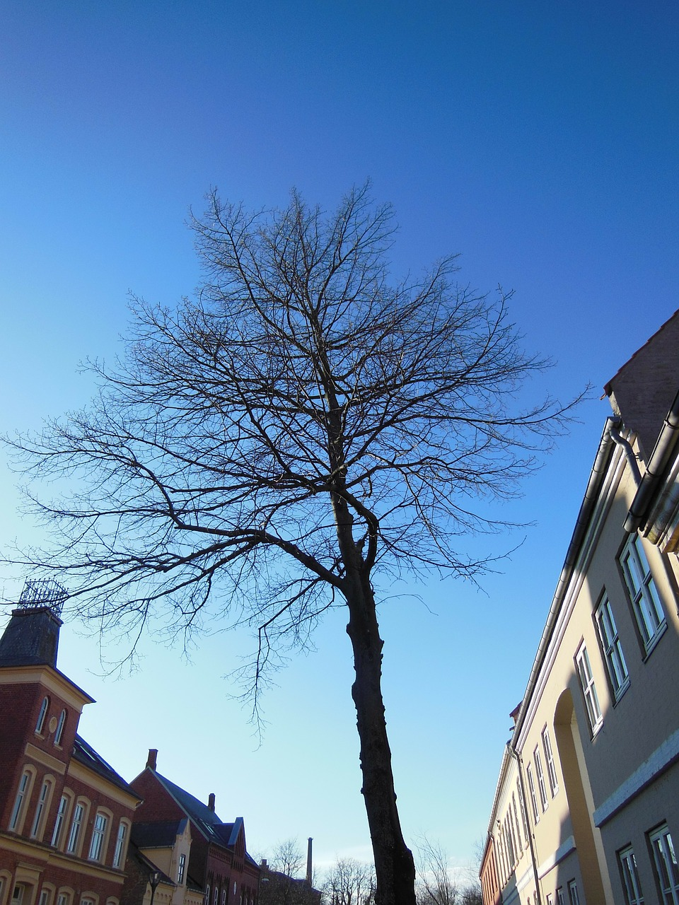 solitary tree street tree blue sky free photo