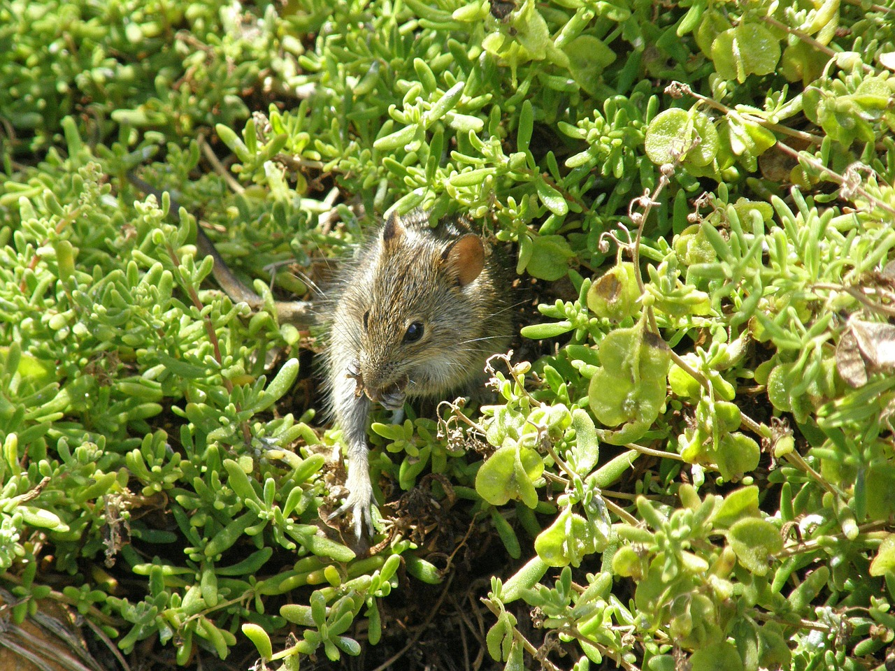 south africa cape of good hope mouse free photo