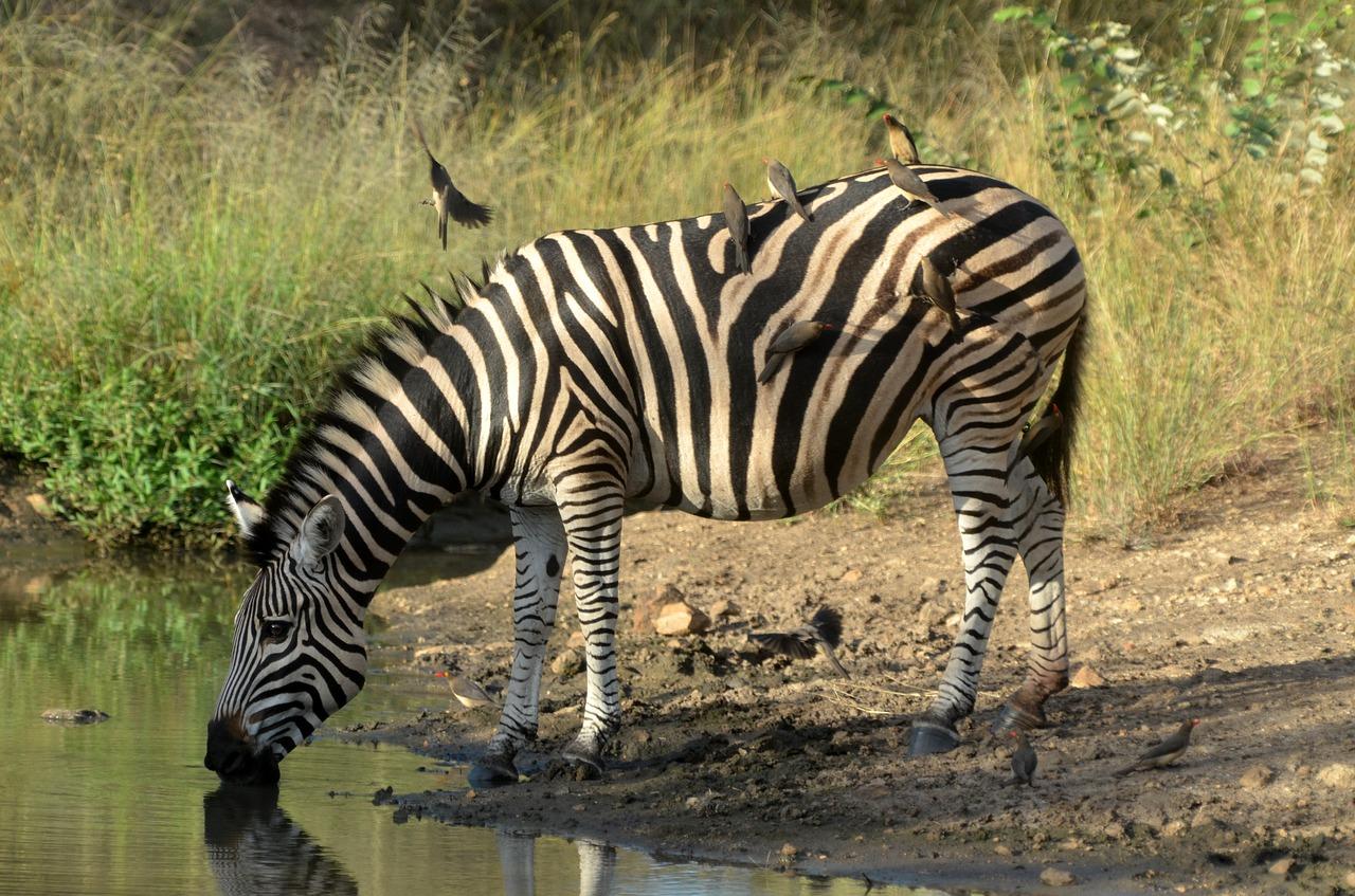 zebra wildlife south africa - HD1280×847