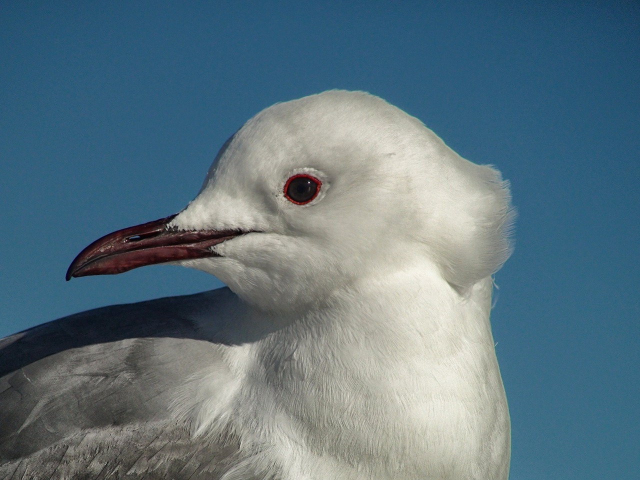 south african gull bird nature free photo