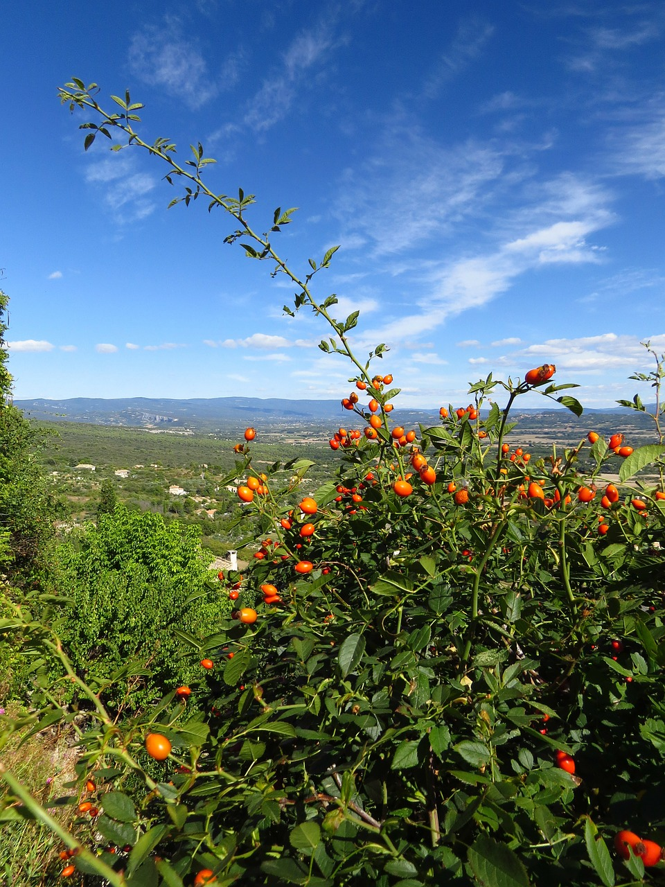 south of france rose hip gordes free photo