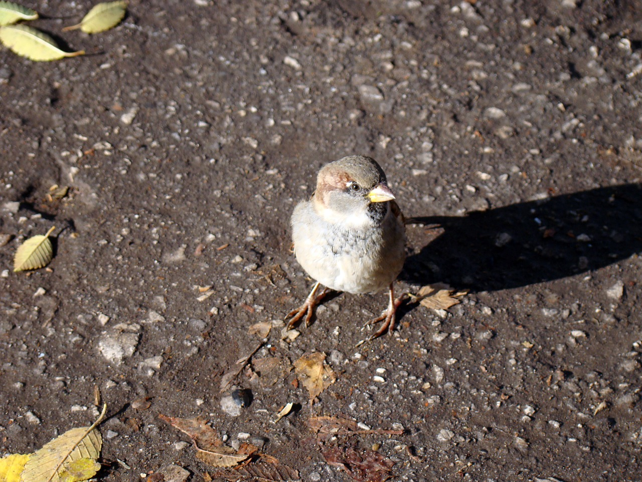 sparrow bird asphalt free photo