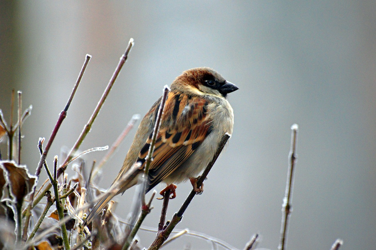 sparrow bird animal free photo