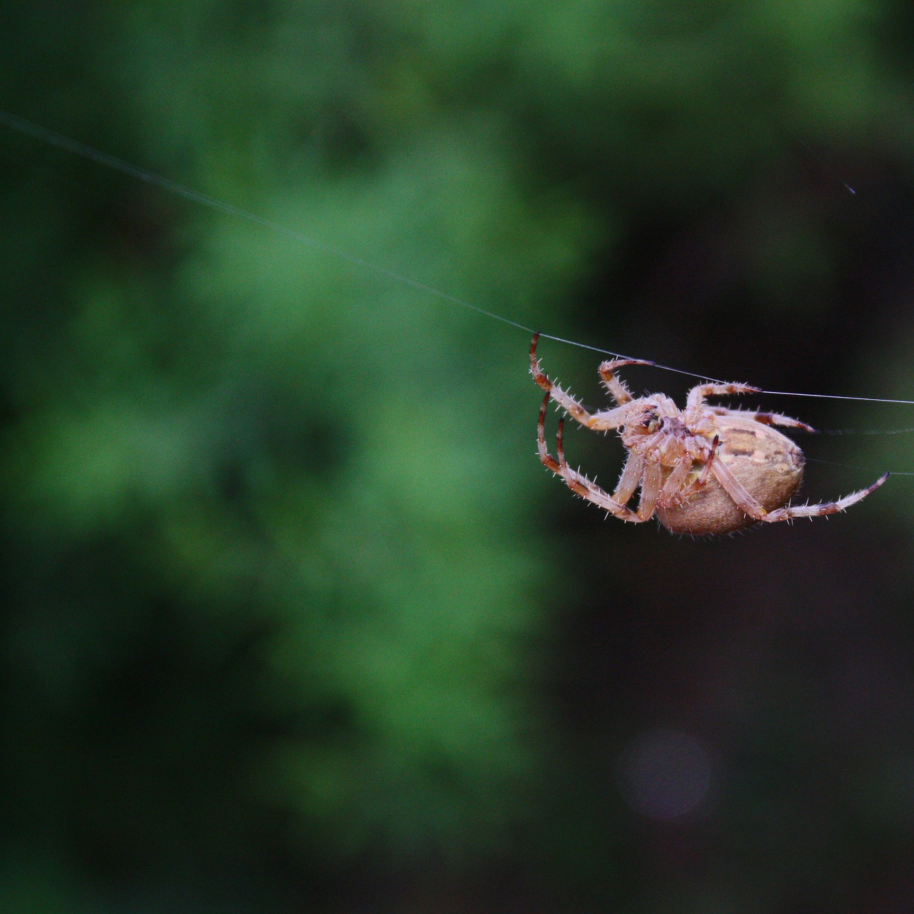spider insect jumping spider free photo