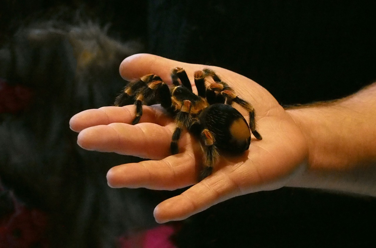spider tarantula arachnophobia free photo