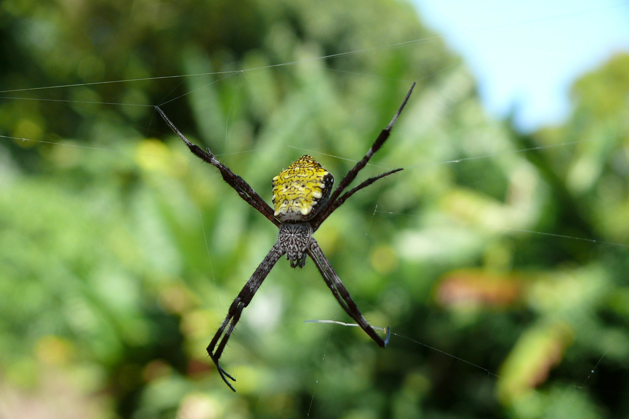 spider nature hawaii free photo