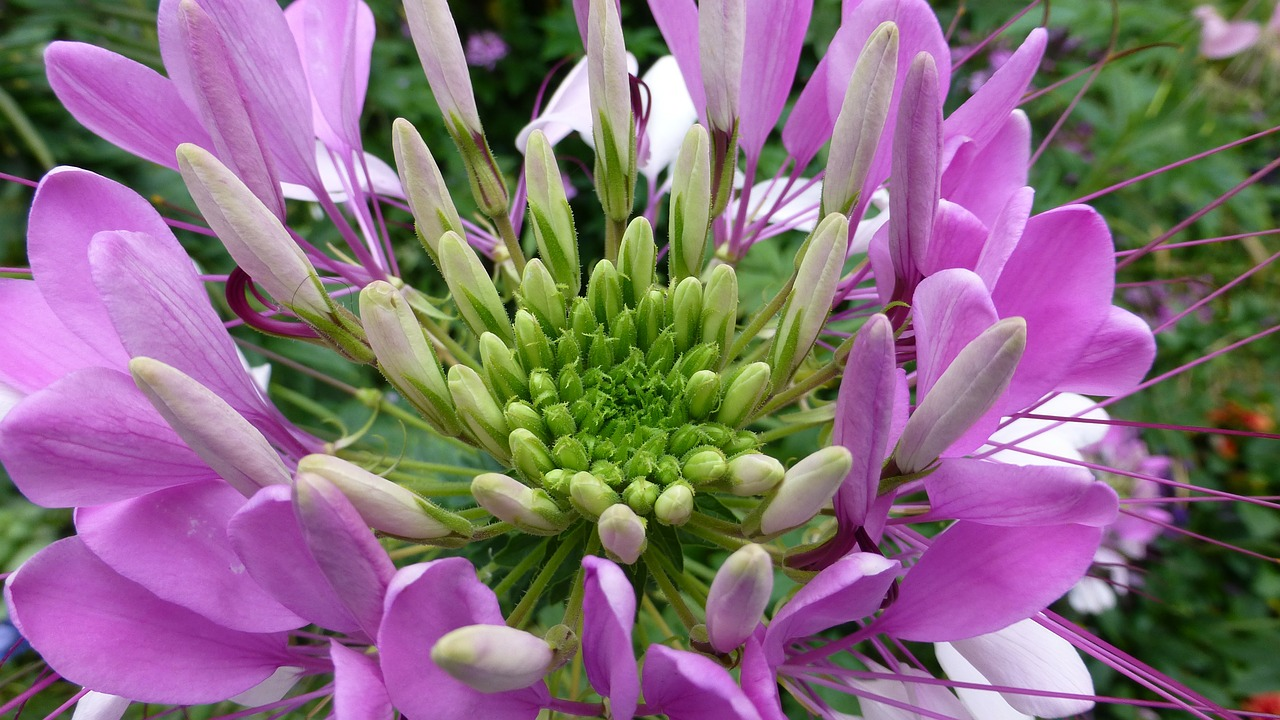spider flower spider plant cleome spinosa free photo