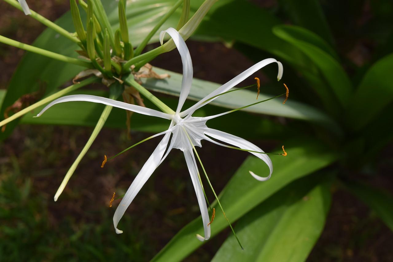 Spider lilyflowerhymenocallis free photo from needpix spider lily flower hymenocallis izmirmasajfo