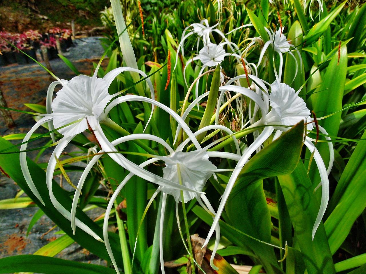 Spider Lilylilywhiteflowersplant Free Photo From Needpix