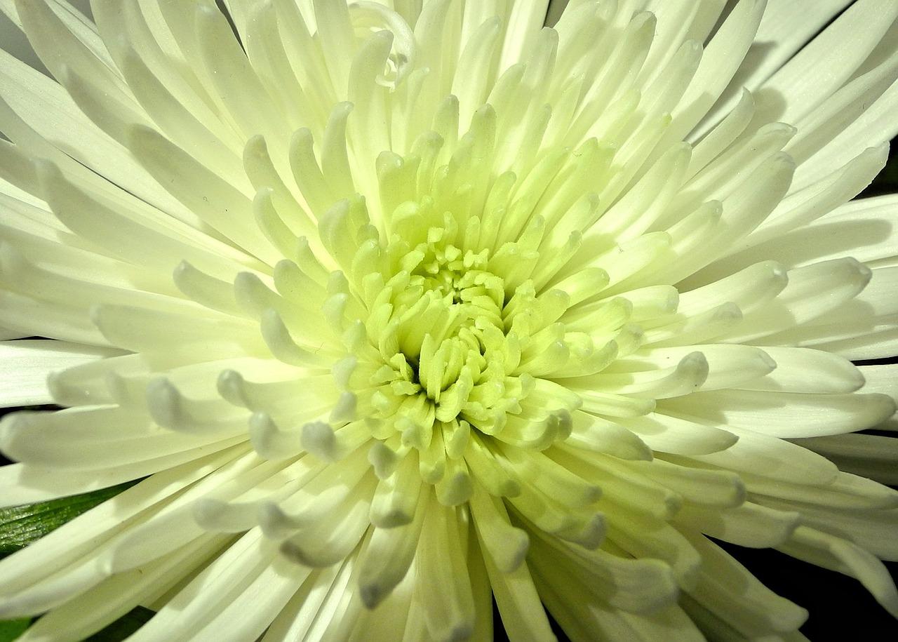 Spider Mum Flowerwhitegardensummer Blossom Free Photo From