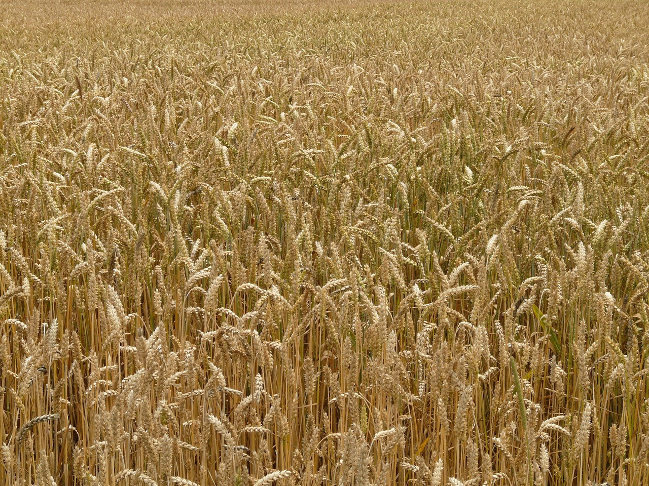 spike,wheat,cereals,grain,field,wheat field,cornfield,plant,eat,food,arable,free pictures, free photos, free images, royalty free, free illustrations, public domain